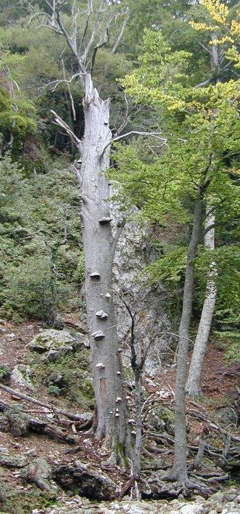 La chandelle, arbre mort sur pied, abrite une grande biodiversité. Dans la RN, tout arbre mort sur pied de plus de 1m30 de hauteur est compté comme un chandelier.