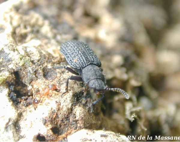 L'aesalus Scarabaeoides, insecte endogé vivant dans un micro habitat minuscule, dans la ripisylve