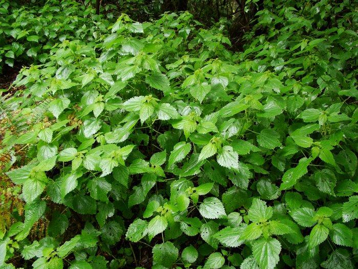 compr urtica morifolia